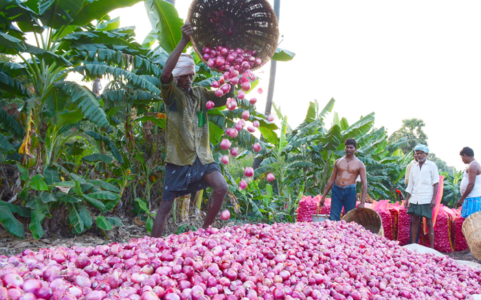 Farmers Sell Onions For 50 Paisa A Kg