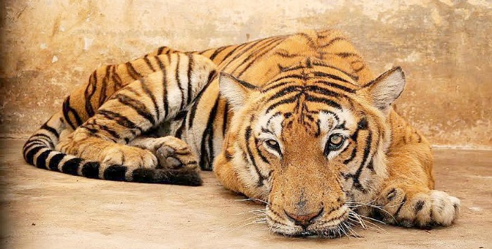 After Losing Teeth, Tiger Starves To Death At Bandipur Forest