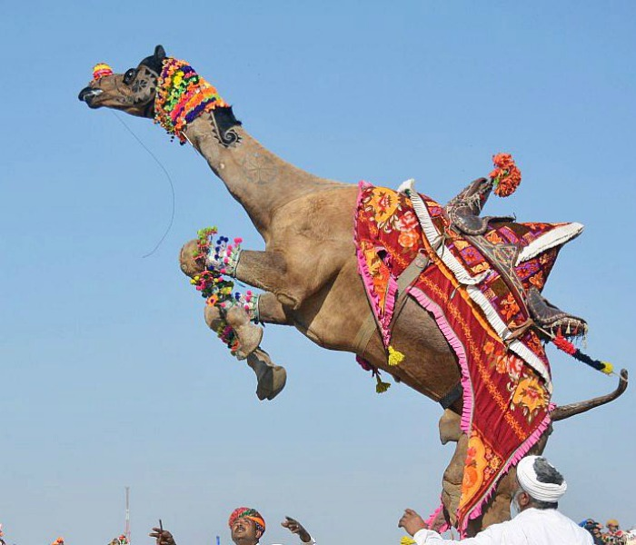 Tied In Heat All Day, Angry Camel Severs Owner's Head