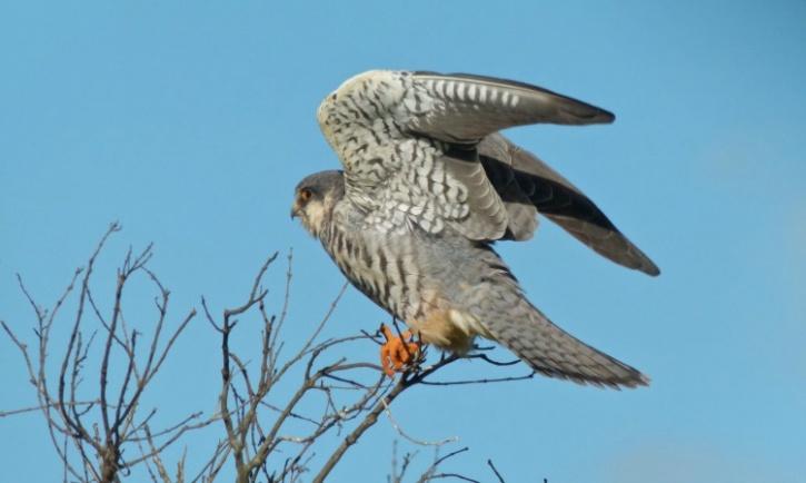 Female Amur Falcon