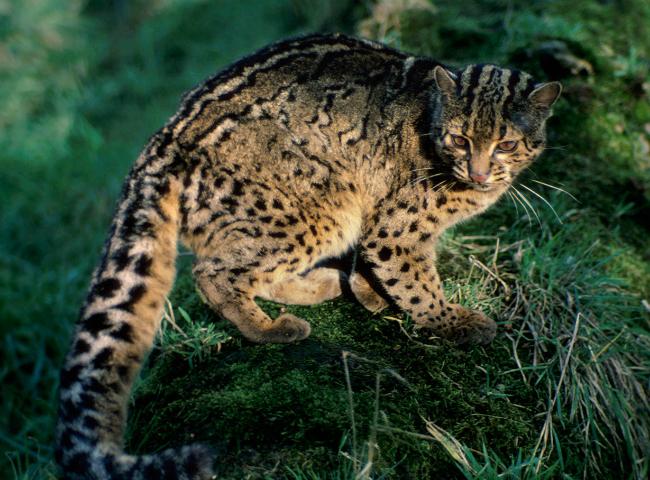 marbled cat