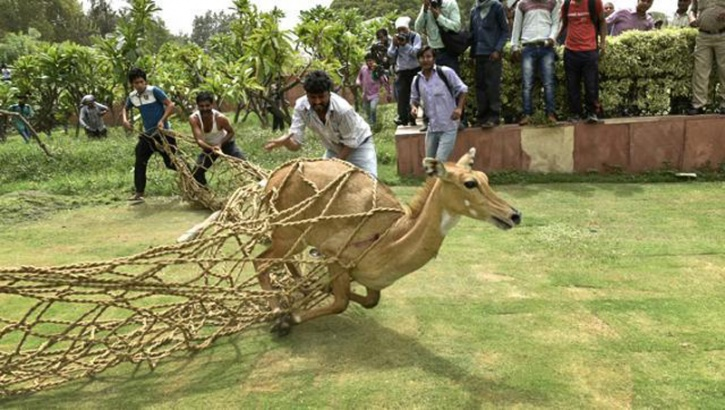 Nilgai which was straying around Parliament, has been caught