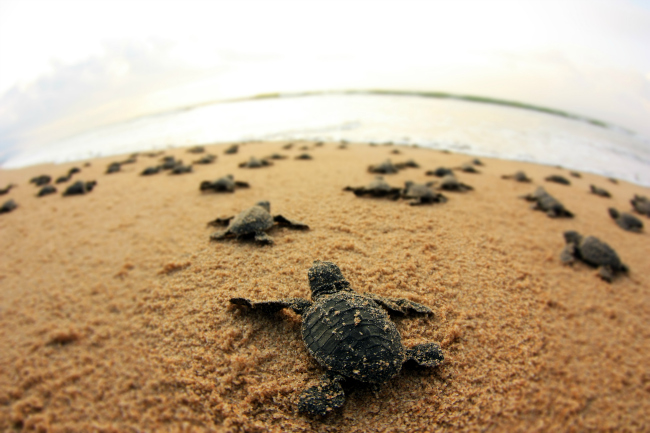 Olive ridley turtle