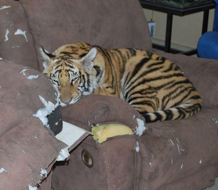 Tiger Invades Uttarakhand Home, Kicks Out Family