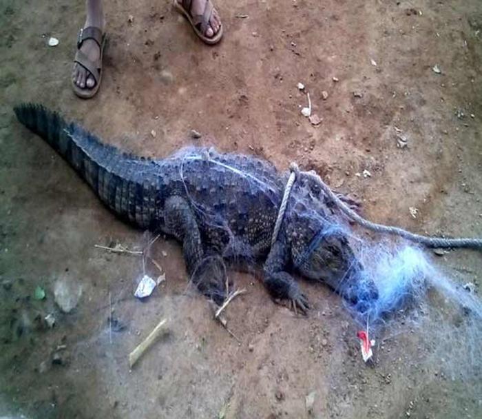 Angry People Dropped Crocodile