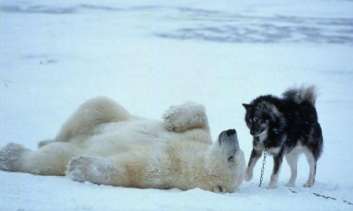 Polar Husky
