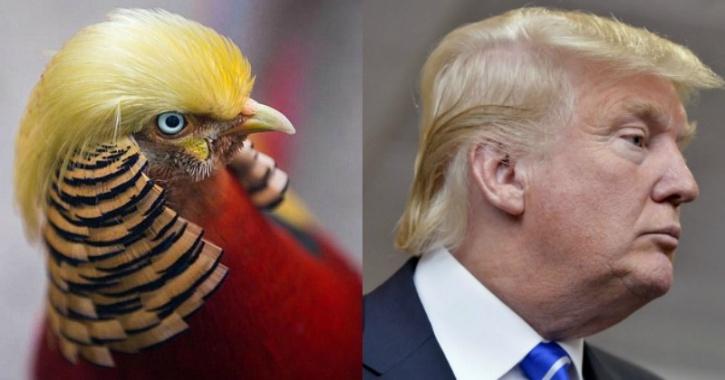 Pheasant/Trump