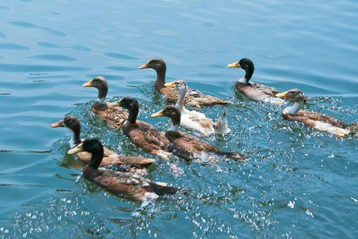 Duck farms in Kerala