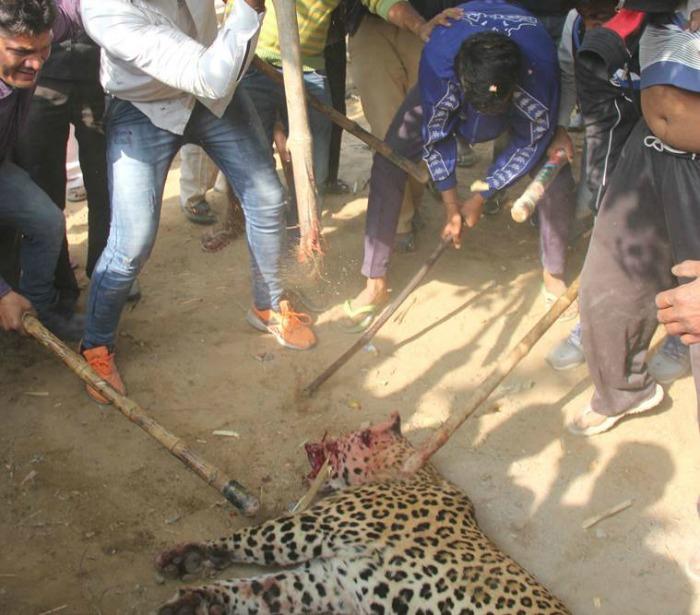 leopard killed in Gurugram