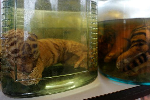 tiger parts in jar