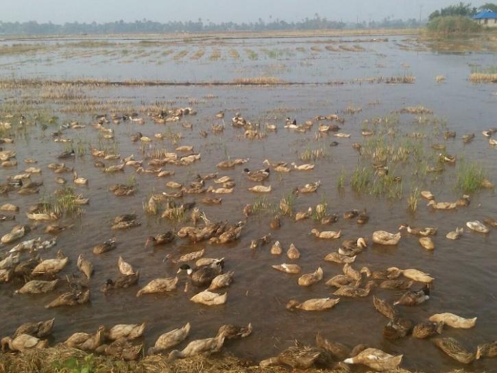 Duck farm in Kerala