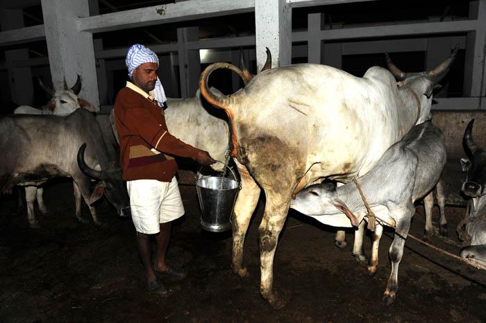 Sprinkle Cow Urine