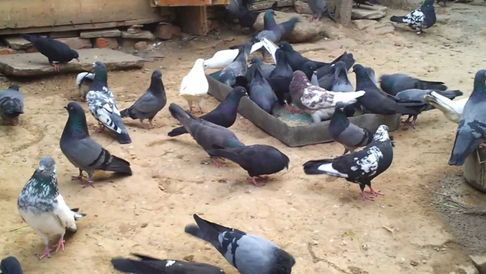 Jammu pigeon