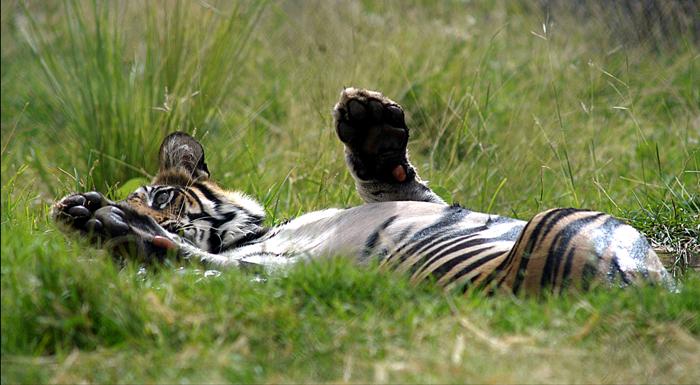 tiger named Bandhu at Bhopal