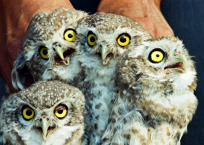 owls in UP