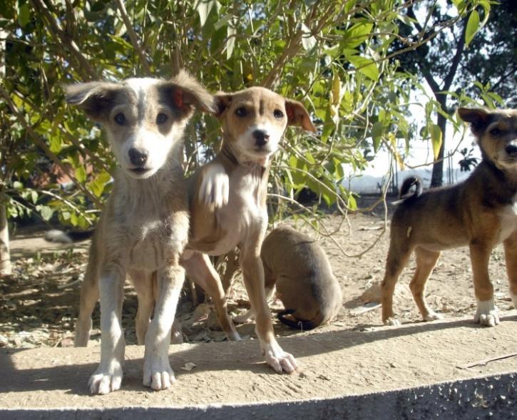 Kerala puppies
