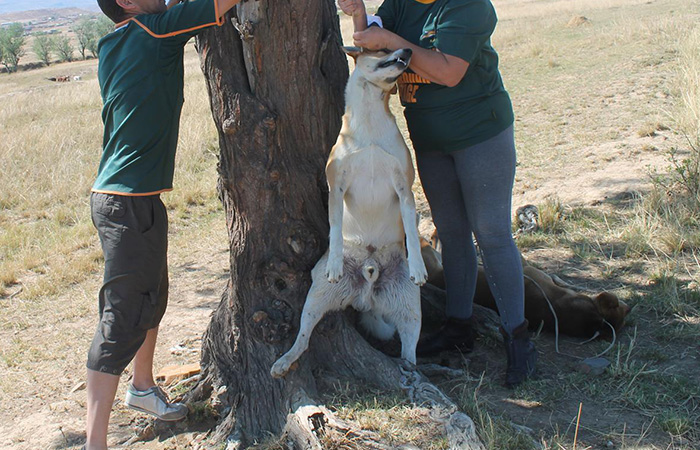 Dog Hung From Tree