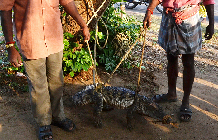 7 Foot Long Crocodile