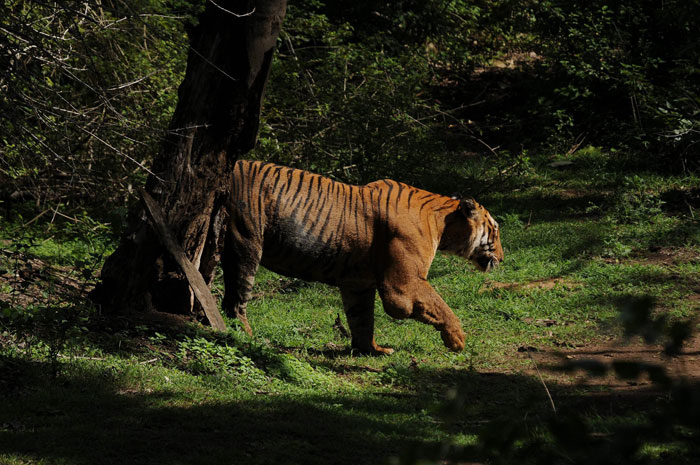 Tiger Prince Is Dead