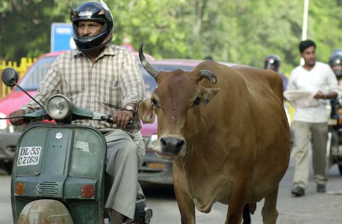 Cows Aadhaar Cards