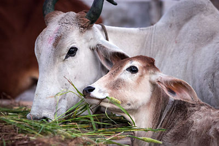 cow oriented startups