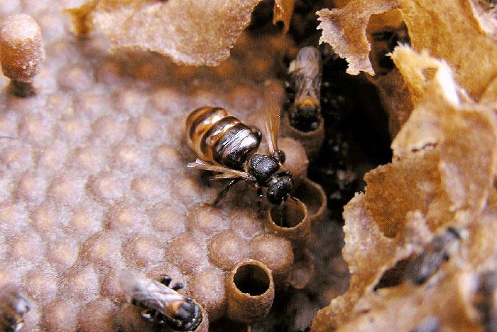 Kerala's Stingless Bees