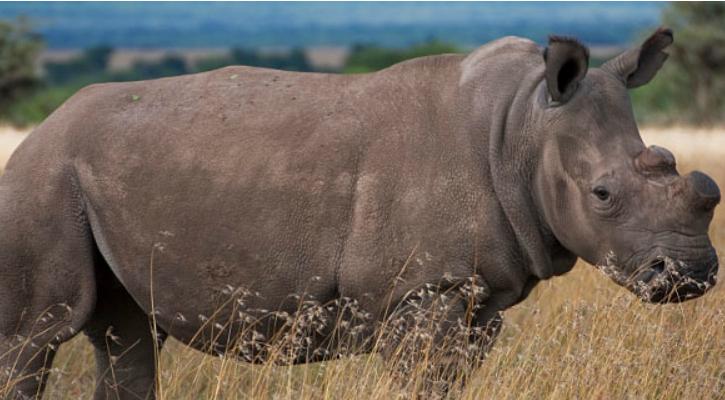 Sudan, the last male Northern White Rhino, at the Ol Pejeta Conservancy