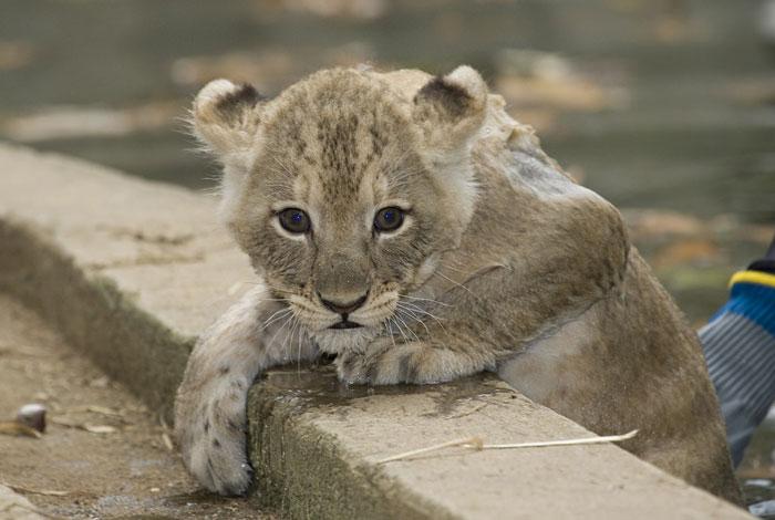 Ahmedabad Lion Cub Rescued