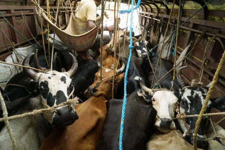cow vigilantism