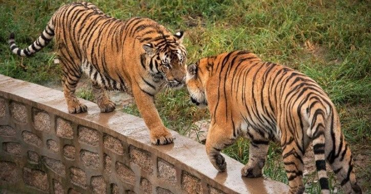 109 Tigers