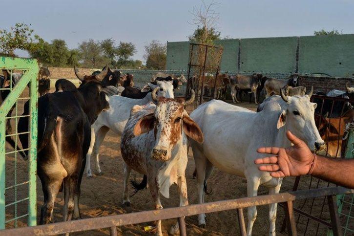 cow slaughter in Muzaffarnagar