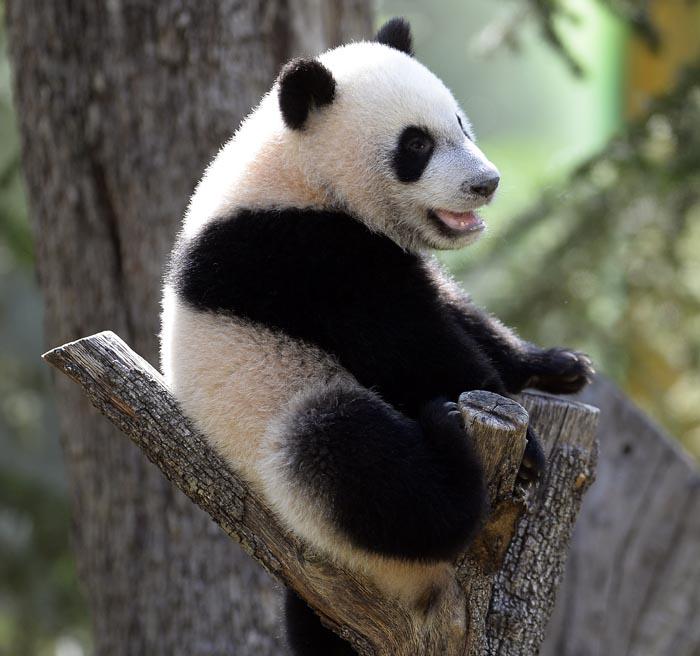 Giant Panda Bao Bao