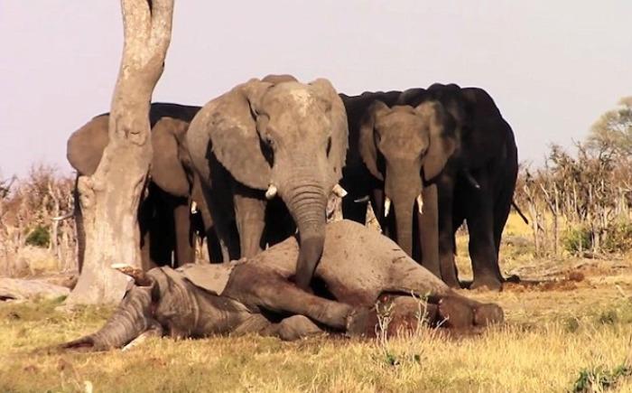 elephants grieving dead friend