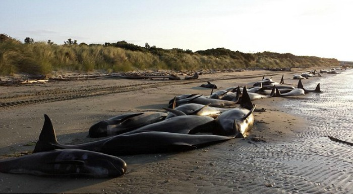 stranded whale in New Zealand