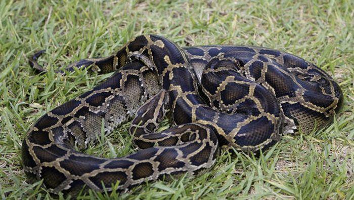 Catch Pythons