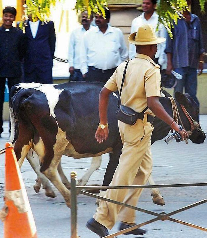 Most Wanted Cow