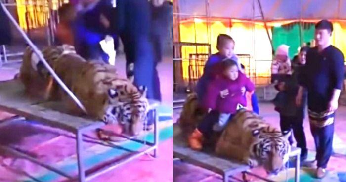 endangered tiger tied at circus
