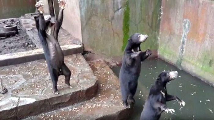 sun bears begging for food