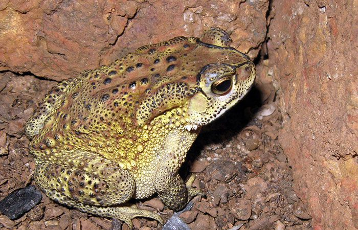 Common Indian Toad
