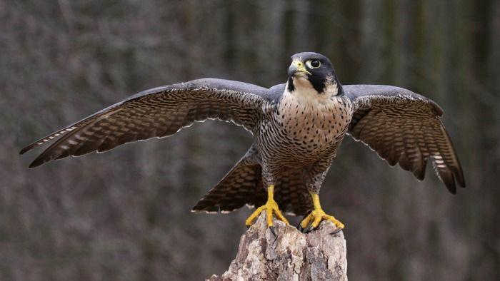 representative image falcon