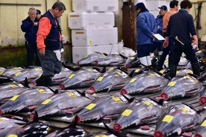 bluefin tuna being inspected