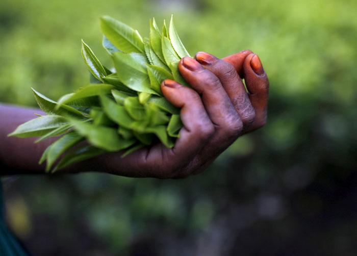 Gorkha stir wipes out harvest of costliest tea