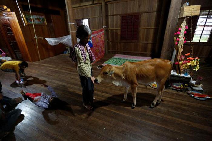 Widow sees dead husband in newborn cow