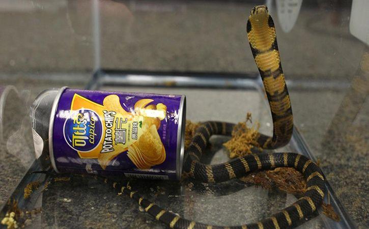 Cobra in Potato Chips Can