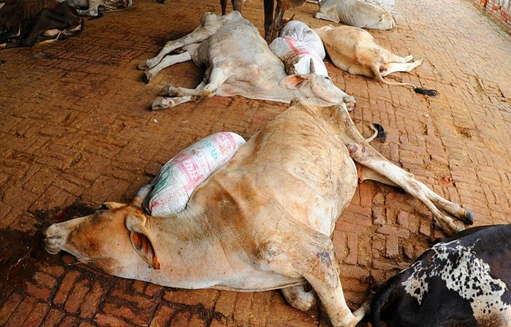 Andhra Cow Shelter