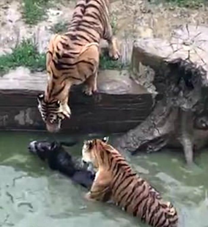 hungry tigers devour donkey