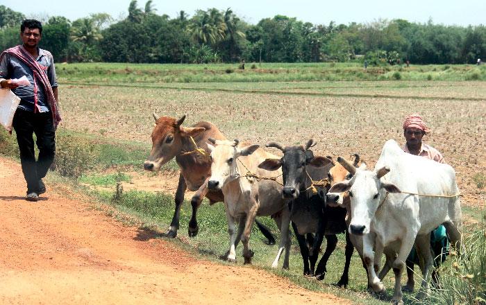 Order Restricting Sale Of Cattle For Slaughter