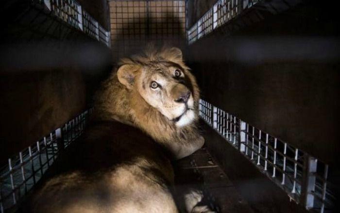 Rescue lions