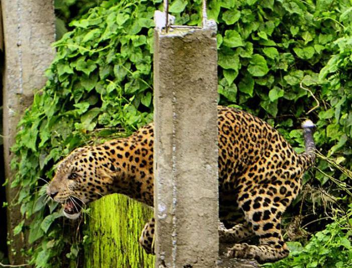 Mumbai leopard attack