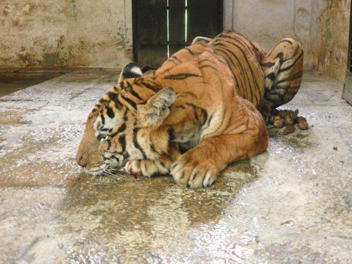 Tiger dies